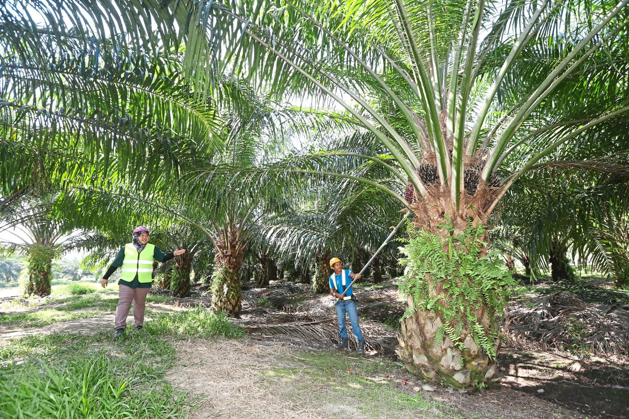 Steady market: People work at an oil palm estate in Melaka. With low brought-forward stockpile and current seasonal low output, CPO prices will stay lofty in the first quarter.