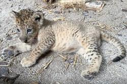 First cub to be conceived via assisted reproduction