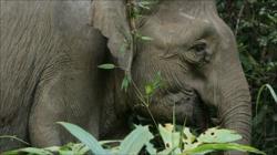 Perhilitan captures five female elephants roaming around Kampung Kuala Tiga