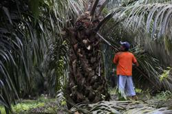 Indonesia urged to resolve palm oil conflicts in West Kalimantan