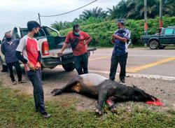 Another tapir ends up as roadkill in Kelantan