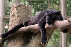 In MCO 'quietness', panthers in Melaka Zoo begin to mate