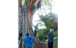 Saving a century-old tree