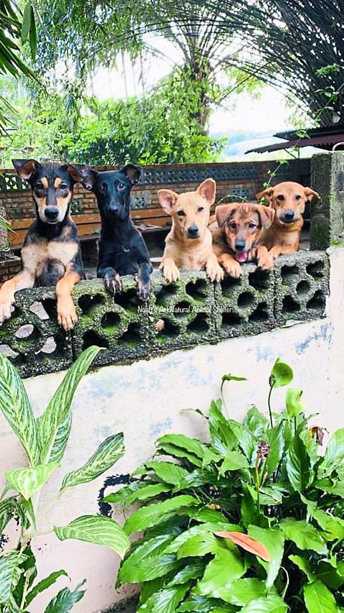 Some of the dogs at Noah's Ark Animal Sanctuary in Pekan Nenas, waiting to be adopted. There are about 700 dogs and 300 cats at the sanctuary. — Photos: THOMAS YONG/The Star