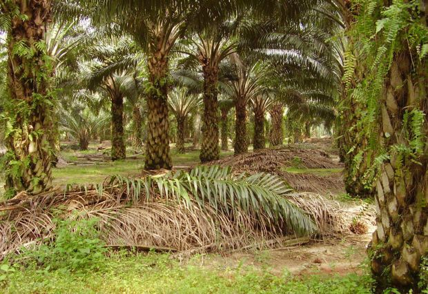IOI Corp Bhd is expected to harvest pineapples and other cash crops in early 2022 at its Sagil estate in Tangkak, Johor. (File pic shows Sagil Estate planted with oil palms.)