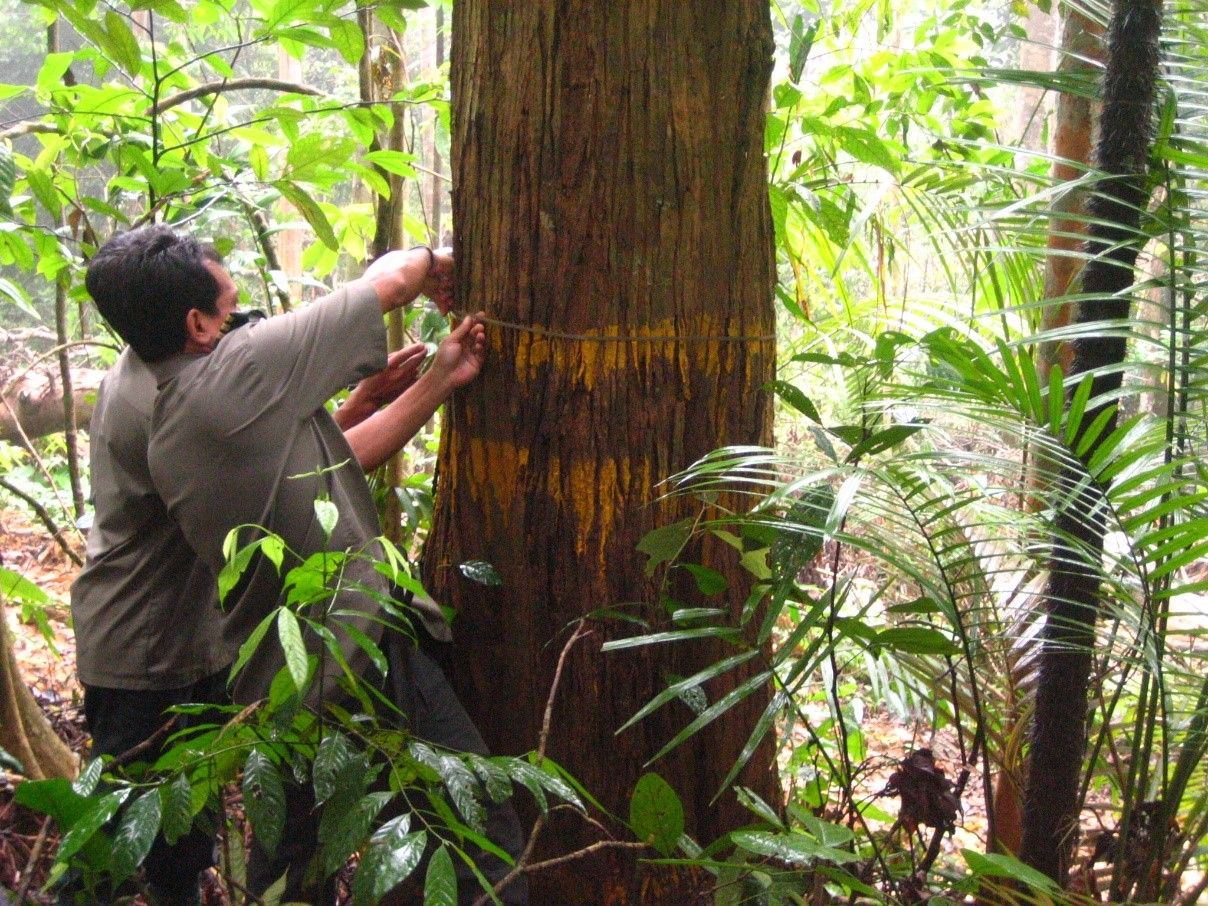 The Selective Management System (SMS) practiced in Malaysia has evolved to optimise an economic cut, the sustainability of the forests and minimum cost for forest development.)