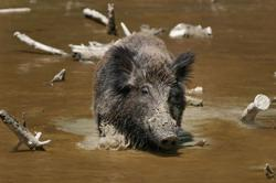 African Swine Fever not cause of Sabah's mysterious wild boar deaths, says Jeffrey Kitingan