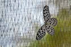 Rare butterfly facing extinction
