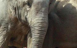 Elephant, calf die in breech delivery