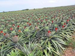 Rainy season affects pineapple production in Johor