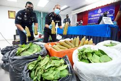 Sepang cops seize 240kg of ketum, nab nine in raid