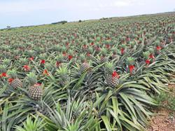 Fama selling Moris pineapples at RM1 each to address dumping issue