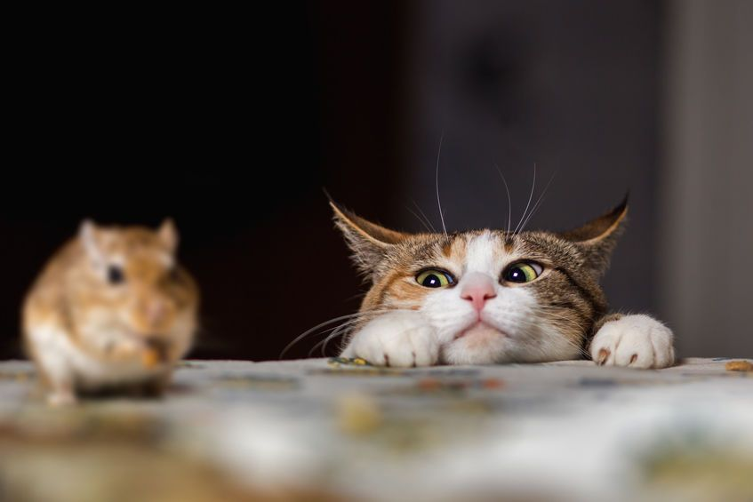 Depending on the life history of a kitten, it can be made to kill a rat, to love it, to hate it, to fear it or to play with it. — 123rf.com