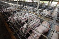 Pig deaths in Pitas, Sabah linked to African Swine Fever