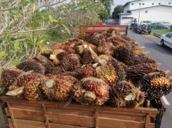 Five arrested for stealing oil palm bunches at Machap Baru estate