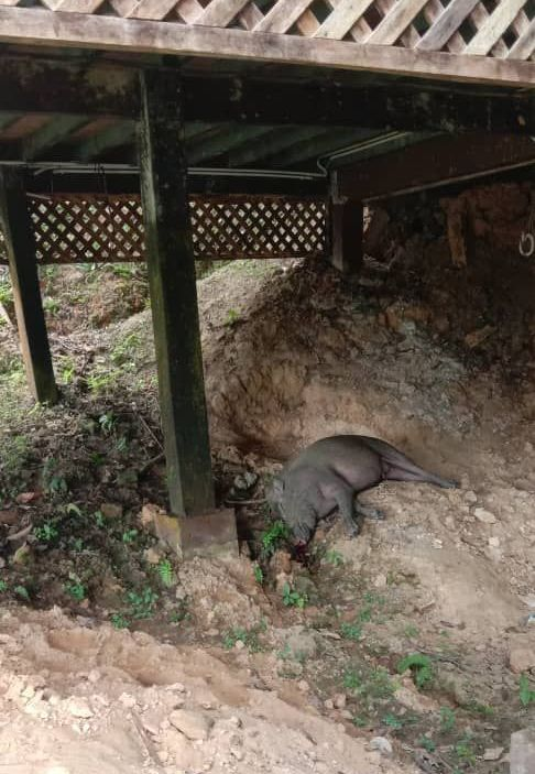 Staff at the lodge in Sukau where this and other wild boar carcasses were found have alerted authorities to the deaths.