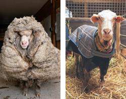 Wild sheep rescued in Australia shorn of 35kg fleece
