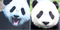 Research spots differences between panda subspecies