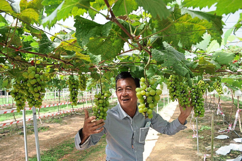 Tan showing bunches of grapes of the Japanese 'Shine Muscat' variety at his grape farm in Padang Lembu, Gurun, in Kedah.