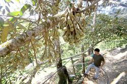 Dry days will yield better durians
