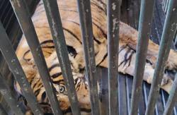 Awang Rasau, the tiger shot by poachers, dies