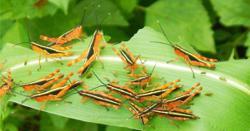 Laos: Phongsaly residents wage war on locust invasion