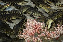 A special report: Snakes, crocodiles in Vietnam farms inflated, skinned alive