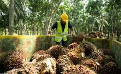 Labour curbs seen costing Malaysia's oil palm industry $3b in annual revenue