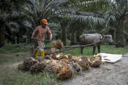 Labour curbs seen costing Malaysia's palm industry US$3bil in annual revenue