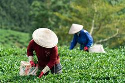 France extends support for Laos' sustainable agriculture value-chain through Mekong Tea Project