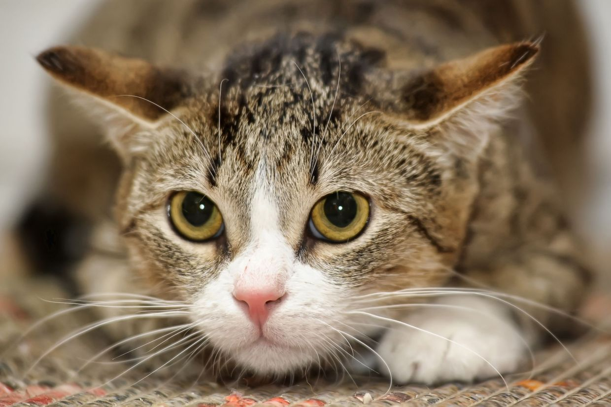 A nervous kitty will have tense body language – the tail will be low, ears will be back slightly, and eyes may be larger and focused on whatever is upsetting them. — 123rf.com