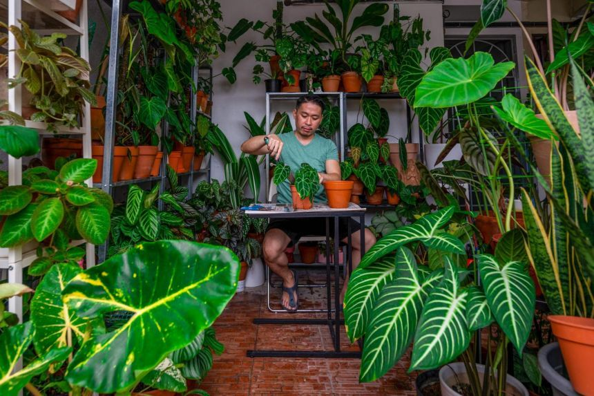 Leiister Soon adding fertiliser to an anthurium crystallinum plant in his home in Kuala Lumpur. - AFP