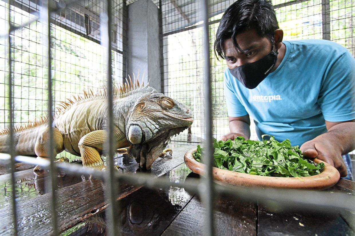 A worker feeding a green iguana at Entopia by Penang Butterfly Farm.