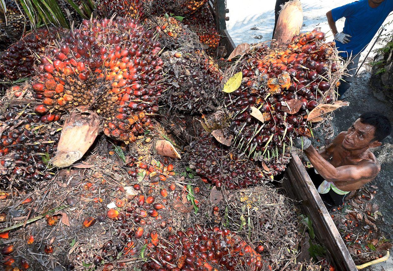 Orang asli villager Razali bin Abdul Fattah, 62, harvesting oil palm fresh fruit bunches in Kampung  Chenderong Kelubi in Kampung Gajah, Perak.