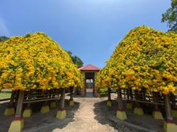 Purr-fect blooms: Cats claw creeper springs delight at Gunung Lang recreational park
