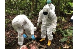 DVS: At least 100 wild boar found dead in Sabah, African Swine Fever suspected