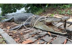 4.5m-long croc caught in Dalat after 10 days of surveillance
