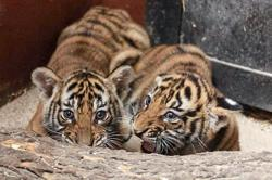 Birth of Malayan tiger cubs revives breeding efforts