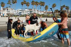 Surfing pet goat coolly rides the waves at California beach