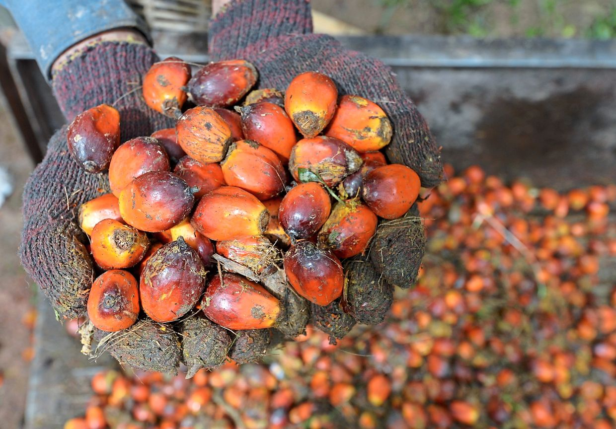 Looking up: Loose oil palm being collected at a plantation. The planter would be banking on higher average selling prices of its palm products and production to ensure earnings sustainability for FY21.