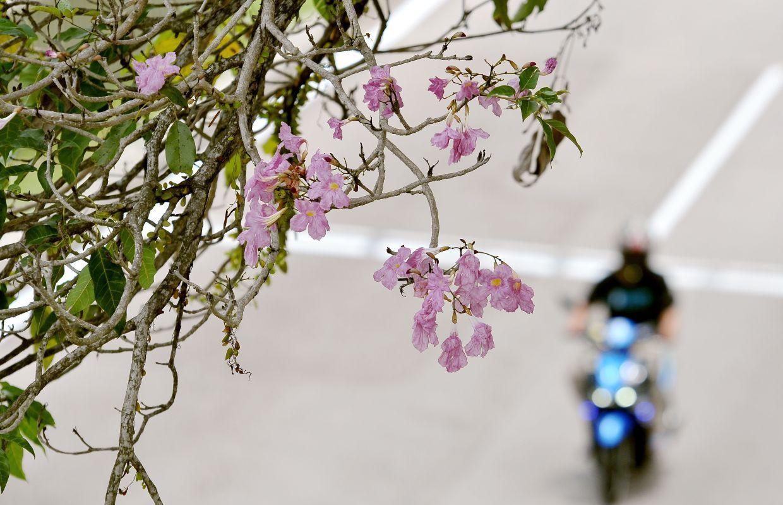 Malaysia has its own version of the sakura tree too.
