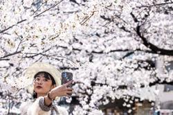 Tokyo enjoys cherry blossoms amid virus