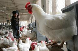 Vet Dept: No salmonella bacteria detected at Linggi farm