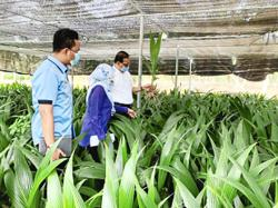 State to up pandan coconut production