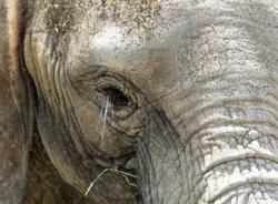 Elephant runs amok, causes damage to banana plantation in Gua Musang