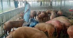 Thai pigs smuggled into Cambodia via Laos; origins hidden due to African Swine Fever