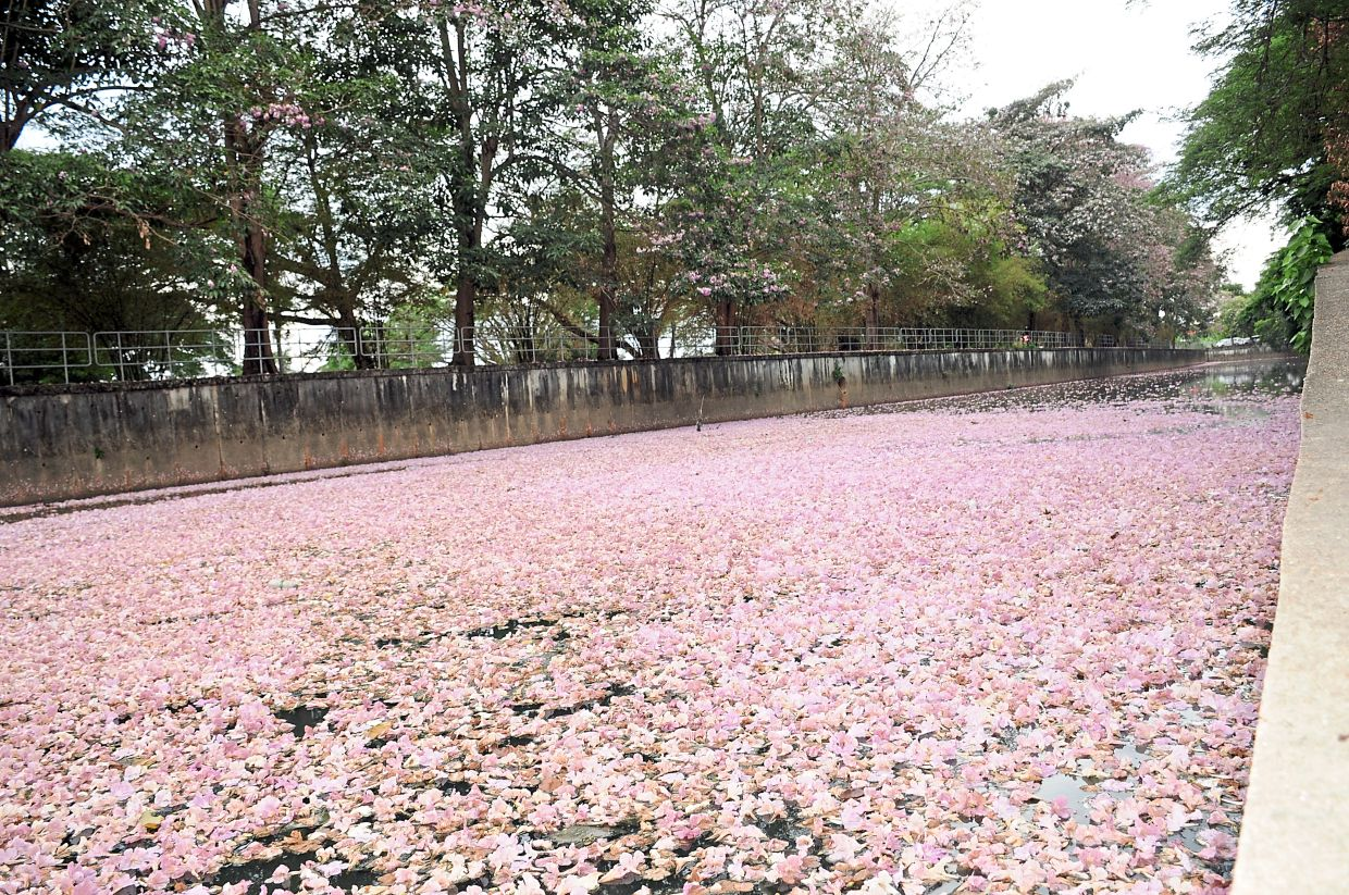 A stretch of the canal in Jalan Stadium covered by a pink carpet of flowers.