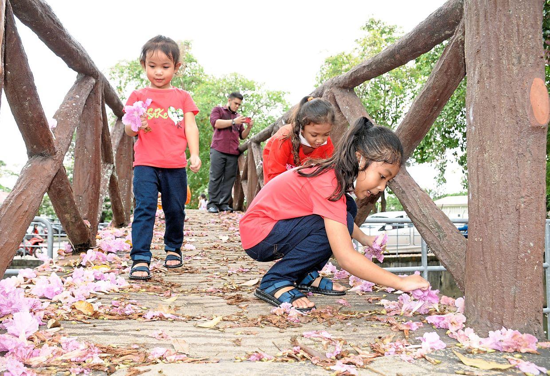 (From right) Nur Aisyah Humaira, Izzara Aryani Ezli and Nur Arissa Amani picking up Tecoma flowers at a pedestrian bridge near the Alor Setar Hospital in Lebuhraya Darulaman.