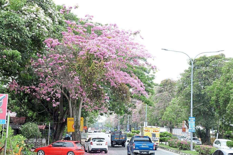 Flowering Tecoma trees in Jalan Langgar.