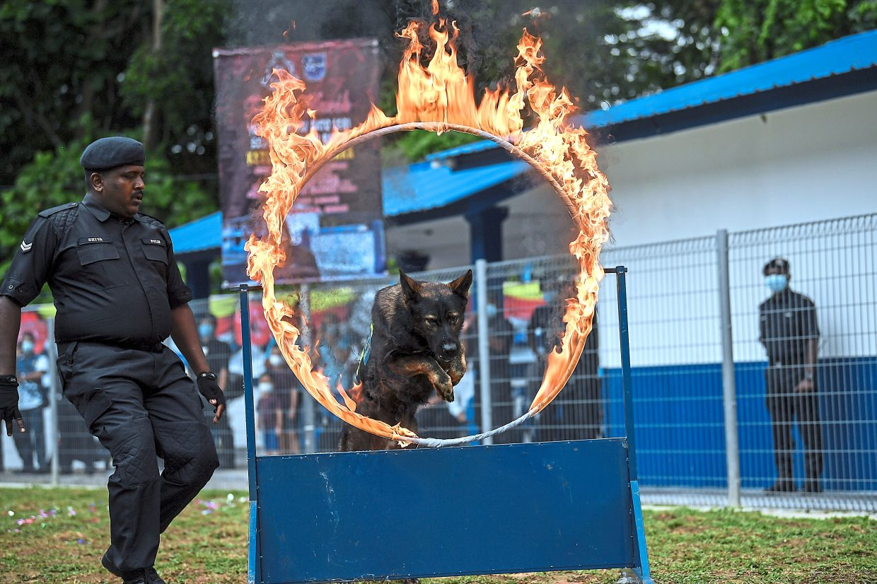 Ring of fire:  A K9 unit member conducting a demonstration during the unit's launch  in Langkawi.  — Bernama